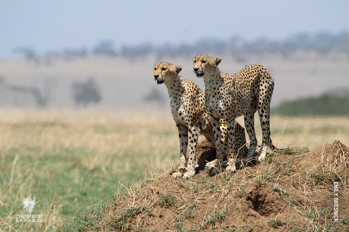 cheetah brothers hunting on termite mound